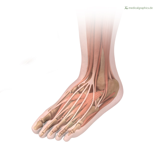 Foot with muscles, tendons and bones (talus, calcaneus, navicular, cuneiform, medial cuneiform, intermedium et lateral, cuboid), author: www.MedicalGraphics.de license: CC BY-ND 3.0 DE